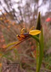 Diuris palustris